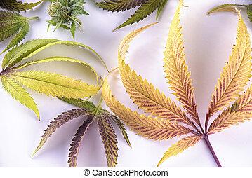 sobre, conceito, padrão, médico, -, isolado, marijuana, cannabis, fundo, branca, folhas