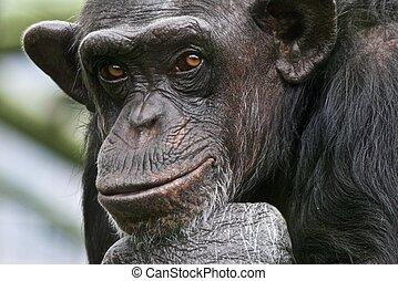 sobre, el suyo, pensamiento, vida, chimpancé, triste