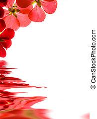 sobre, refletir, fundo, flores brancas, vermelho