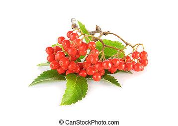 sobre, verde, rowanberry, fundo, branca, folhas