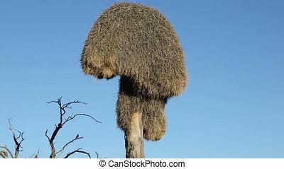 Sociable weaver nest - Communal nest of sociable weavers...