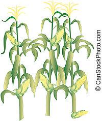 sockermajs på majskolven, stalks, illustration