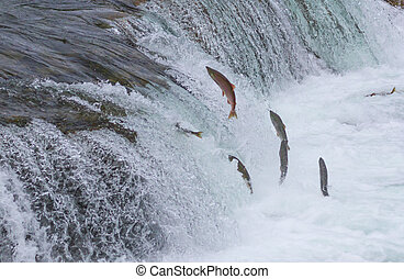 Sockeye Salmon Jumping Up Falls - Sockeye salmon jumping up...