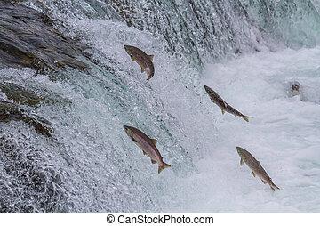 sockeye, springt, salmon, op, dalingen