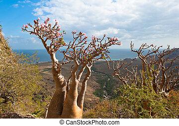 socotra, isla, rosa, árbol, yemen, desierto