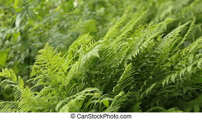 soczysty, paproć, zieleń, zielony