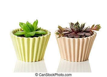 soczysty, rośliny, w, ceramiczny, garnki, na białym, tło