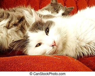 sofá, gatos, mentindo