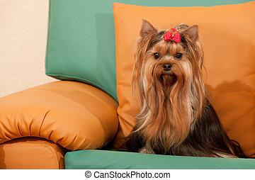 sofá, simpático, terrier, yorkshire