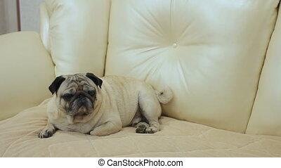 sofa, chien pug, séance