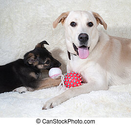 Sofa, junger Hund, Pelz, hund, spielende