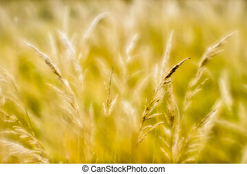 Soft background blur of dry grass in the fall. Closeup of wheat ears background. Blur