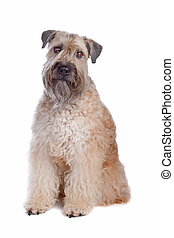 Soft Coated Wheaten Terrier dog isolated on a white ...