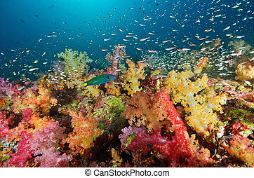 Soft coral colony , Similan island Thailand