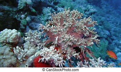 Soft coral polyps on coral reef Elfin Ston catch plankton, ...