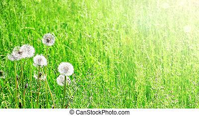 Soft fluffy dandelions on sunny spring background