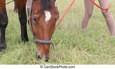 Bay horse grazing - Soft focus. Bay horse grazing in the...