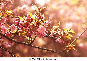 Soft focus Cherry Blossom or Sakura flower on nature background. Sakura flower