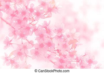 Soft focus Cherry Blossom or Sakura flower on pastel filter background