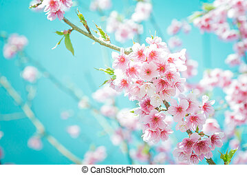 Soft focus Cherry Blossom or Sakura flower on turquoise tone background
