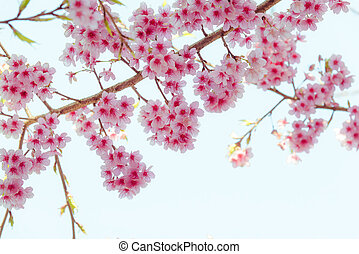 Soft focus Cherry Blossom or Sakura flower on white background