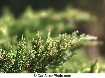 juniper tree bud