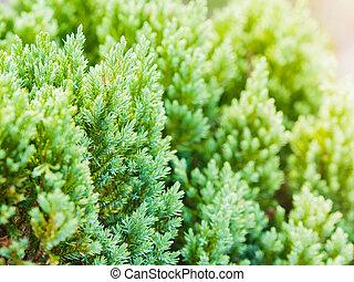 Soft focus of Chinese Arborvitae background in morning, Platycladus orientalis, Biota or Oriental Thuja.