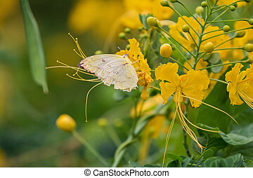 Common Tailed Sulphur in pale yellow feeding on yellow...