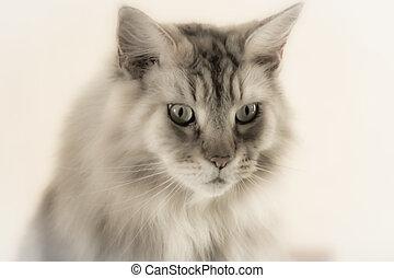 Soft Focus Portrait Of A Maine Coon Cat On A Plain...