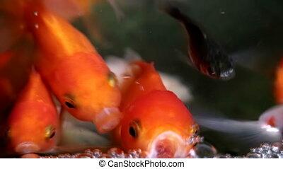 Soft focused beautiful and cute goldfishes swim - Soft...