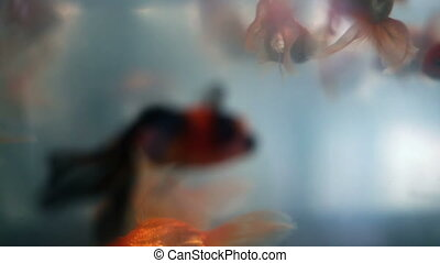 Soft focused beautiful goldfishes swim - Soft focused...