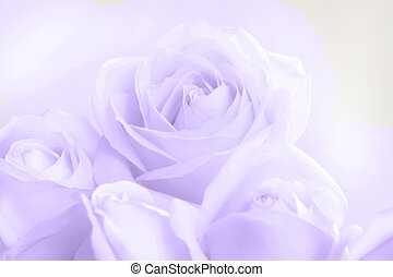 Soft full blown ultraviolet roses as a neutral background ...