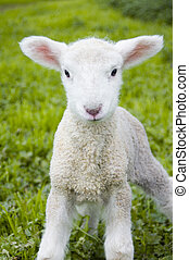 Soft Lamb - A toy-like lamb, only three days old, looks with...