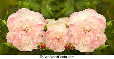 soft pink rose flowers in spring