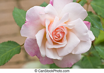 Soft pink rose in the garden