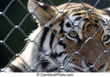Soft poignant image of a caged tiger. Animal in captivity.