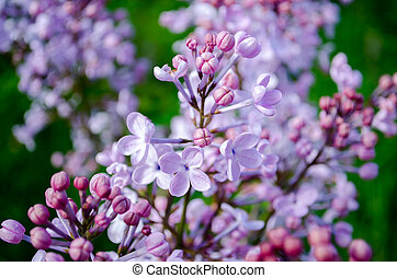 soft purple lilac blossoms in spring on a green background