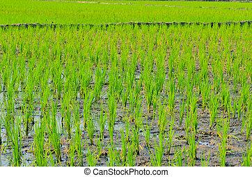 Soft rice fields