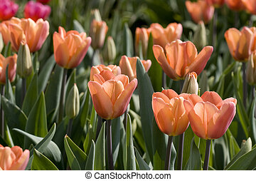 Soft toned colored tulips