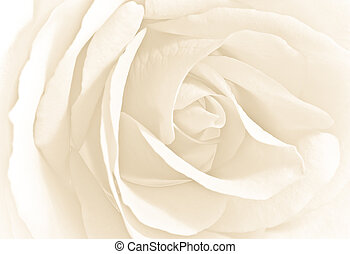 Soft white rose in close view-high key image