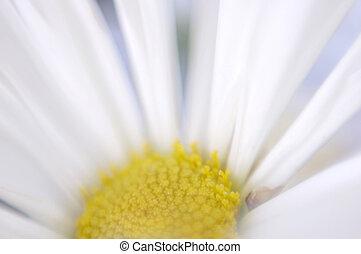 Softness - Impressionistic close-up of daisy head