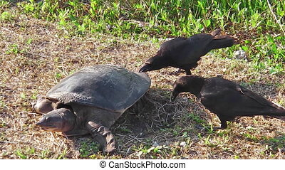 softshell turtle and stealing crows