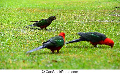 Soggy King Parrots