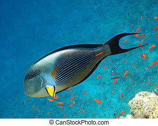 sohal, coral, surgeonfish, arrecife