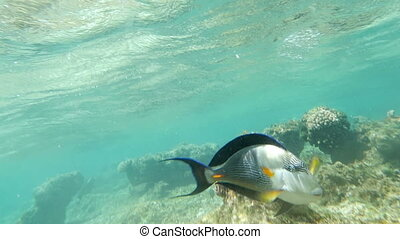 Slow motion close-up shot of a sohal surgeonfish swimming in coral reef of Red Sea, Egypt. Sea life