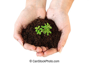 Soil and young plant in hands - An isolated photo of a...