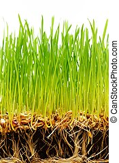 Soil with seeds and roots of fresh green grass