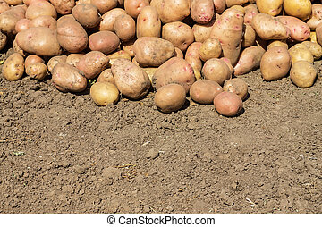 soiled potatoes lying on the ground - potatoes smeared with...