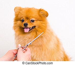 soins personnels, chien, pomeranian