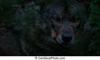 soir, autour de, profond, regarder, bois, loup